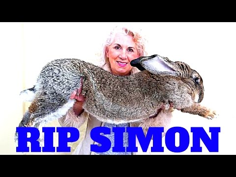 Redneck BREAKING NEWS United Airlines Simon the giant rabbit dies while flying United