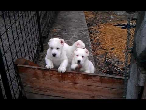 Central Asian Shepherd Dog puppies