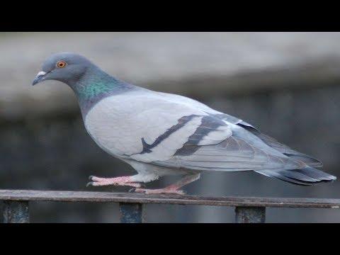 Способ Борьбы с голубями
