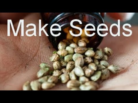How to Make Feminized Autoflower Seeds  -cheap and easy