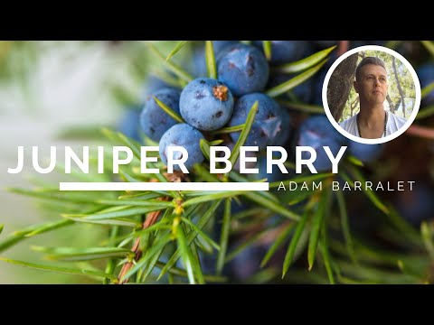 juniper-berry-–-the-oil-of-the-abyss