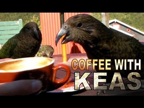 COFFEE WITH KEAS - KEA - ARTHURS PASS - NEW ZEALAND