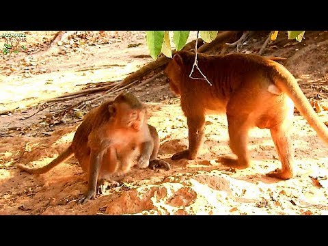 Pity female monkey screaming | What Fluffy doing on female monkey till angry like this? |