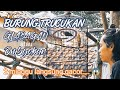 Tips Merawat Burung Trucuk Bakalan Ombyokan Biar Cepat Gacor Dan Rajin Bunyi  Mp3 - Mp4 Download
