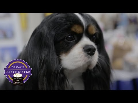 Best of Breed Minute: Cavalier King Charles Spaniel
