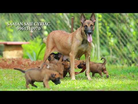 Malinois puppies.9961310970.( 'Madhuraraja' puppies)