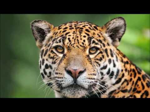 Flute  Spirit of The Jaguar  Pure Clean Positive Energy