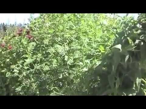 Huang Qi - Astagalus membranaceus - 黄芪