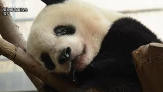 シャンシャン、訓練順調 疲れて?お昼寝 上野動物園