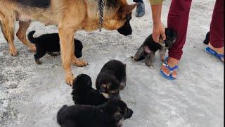 German Shepherd puppy for sale Doggyz World