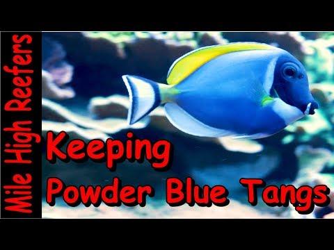 Keeping A Powder Blue Tang