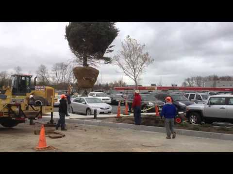 Planting Town Christmas Tree