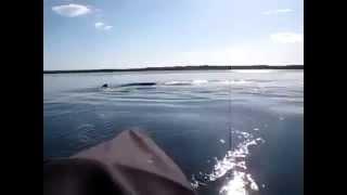 На берегах Австралии Запечетлён Самый Редкий Кит