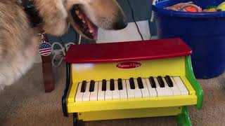 Trick Dogs Ebony (Oskar) and Ivory (Sebastian) Play a Duet on the Paw-Ano