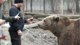Венгрия март 2013 клип 6 Медведь и волки, состояние