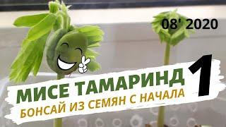 Тамаринд  Индийский финик в домашних условиях. Как вырастить из семян будущий бонсай. Часть 1