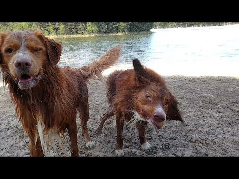 Awesome dogs! Meet Happy & The Derp, our cute Duck Tollers