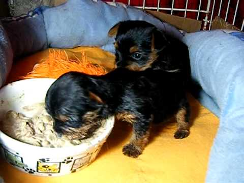 Yorkie Puppies Eating One Month Old Youtube