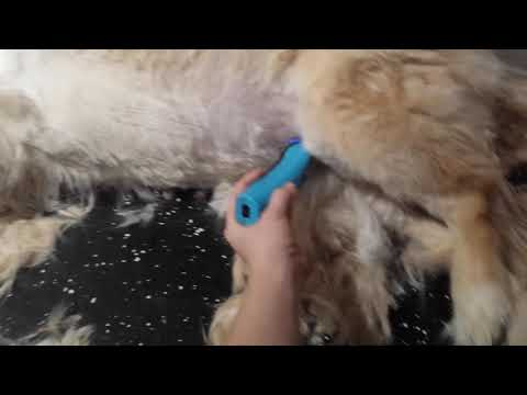 Sweet Lilly the Golden getting haircut Riverpaws Pet Spa LLC
