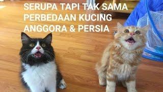 5 Perbedaan Kucing Anggora Dan Kucing Persia. Kucing Ras Berbulu Panjang Yang Terkenal.