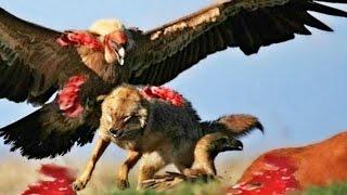 Most Amazing Animal Attacks Compilation - Eagles Vs Wolves , Lamb , Deer , Snakes, Lion
