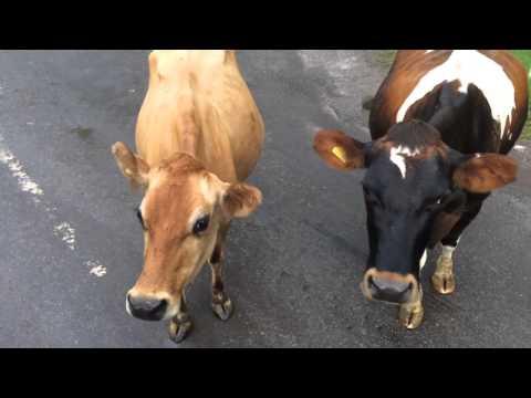 Friesian meets Jersey cows!