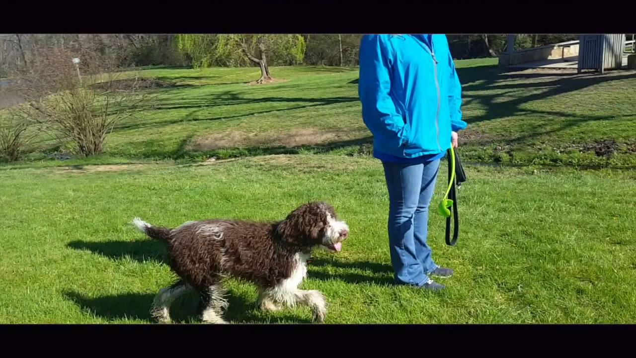7-Month Old Springer Doodle, Molly! Doodle Training Virginia | Doodle  Trainers Virginia