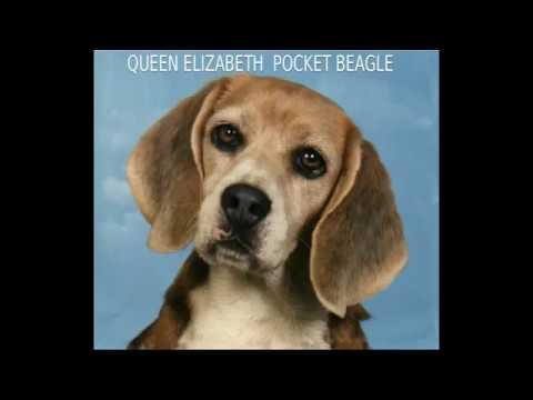 QUEEN ELIZABETH POCKET BEAGLE - mid-size dog breed