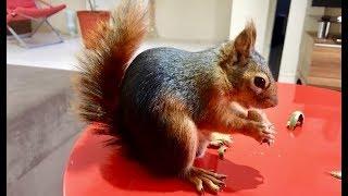 Eşi benzeri olmayan Sincap. Komutları anlayan ve dışarıda serbestçe dolaşan Sincap Alf Pet Squirrel