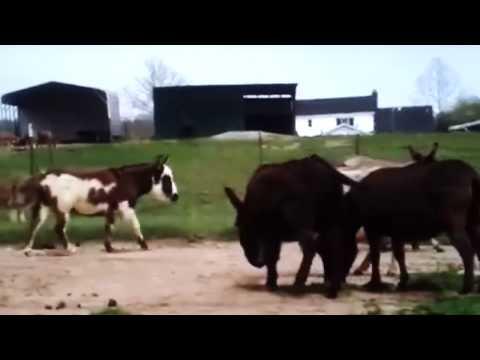 Cute Donkey Mating - YouTube