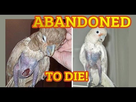 ABANDONED BIRD DIDNT EAT OR DRINK FOR 5 DAYS! Parrot left behind trap to die Part 2 BAD BREEDER