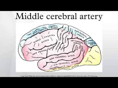 Middle Cerebral Artery Youtube