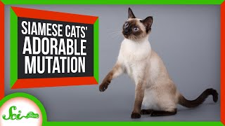 The Delightful Mutation Behind Siamese Cats