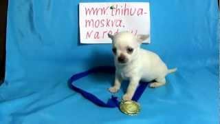 Белый чихуахуа фото www.chihuahua-moscow.ru