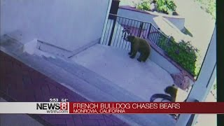 Bulldog chases bears out of yard