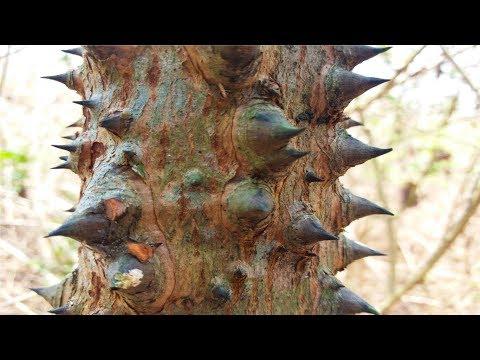 Phát Hiện 1 Cây Gỗ Quý Giá Trong Rừng Sâu .Loại Cây Đặc Biệt Kỳ Lạ Nhất Việt Nam .Cây Gỗ Quý Hiếm