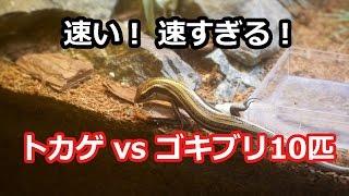 トカゲ対ゴキブリ10匹 ゴキブリより速く!追いかけ回す!Lizard vs cockroach