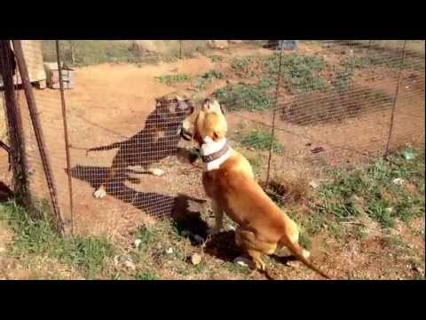 Doberman vs Pitbull Full Fight in HD 1080p Dog Fight ...