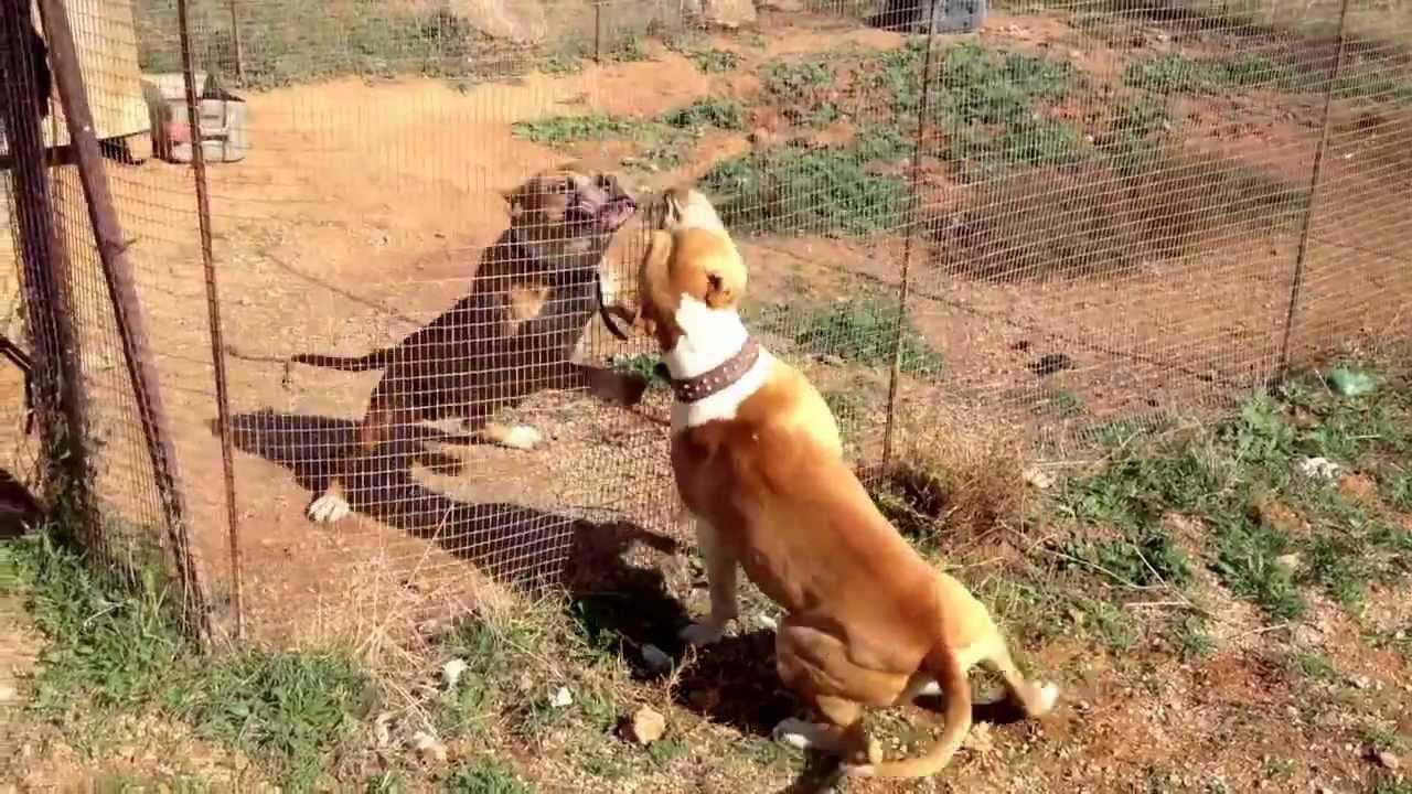 Game pitbull fight videos - hausanlinon