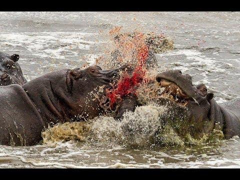Nat Geo Wild: Превосходство бегемота / The Hippo Supremacy !!!
