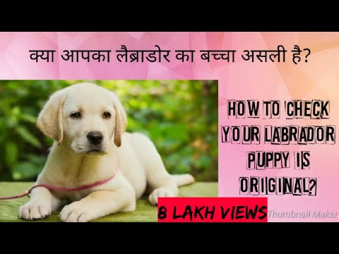 labrador ||       ? || How To Check your Labrador Puppy is original?