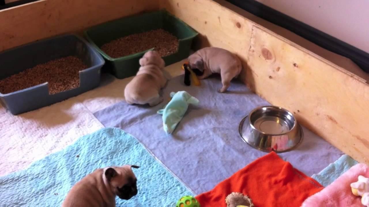 Litter Training French Bulldog Puppies - YouTube