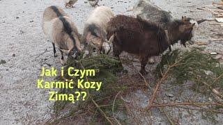 Czym żywić kozy zimą i jak o nie dbać🤔