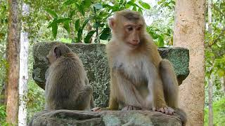 Monkey Rose so scare Amri troop and scream loudly call her group help, Update monkey Rose today