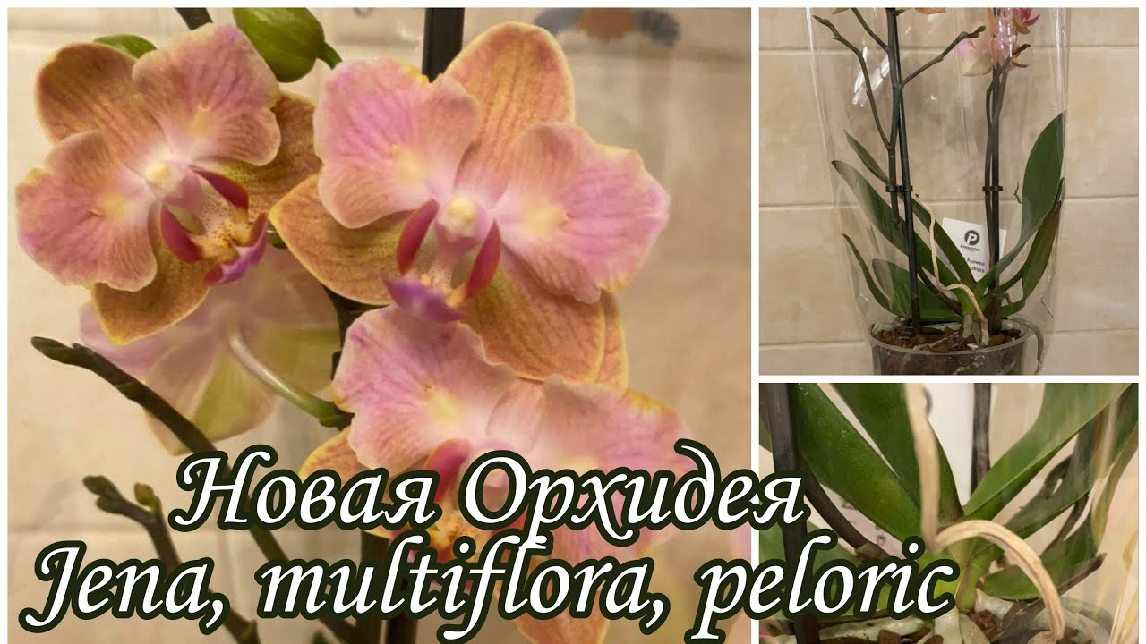 Орхидея Бабочка | Новая Орхидея | Phal. Jena, multiflora, peloric