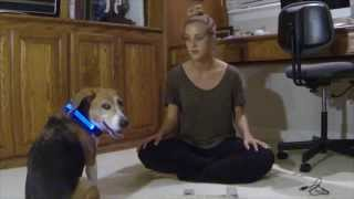 HaloBelt's Halo Mini LED Pet Collar Review - Awesome Collar Review!