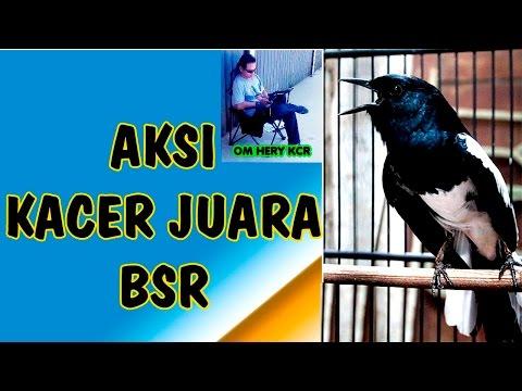 Tv Burung Kacer Sakura Lagi Enak Mainnya Juara 2 Di Latber Ramadhan Sekura Youtube