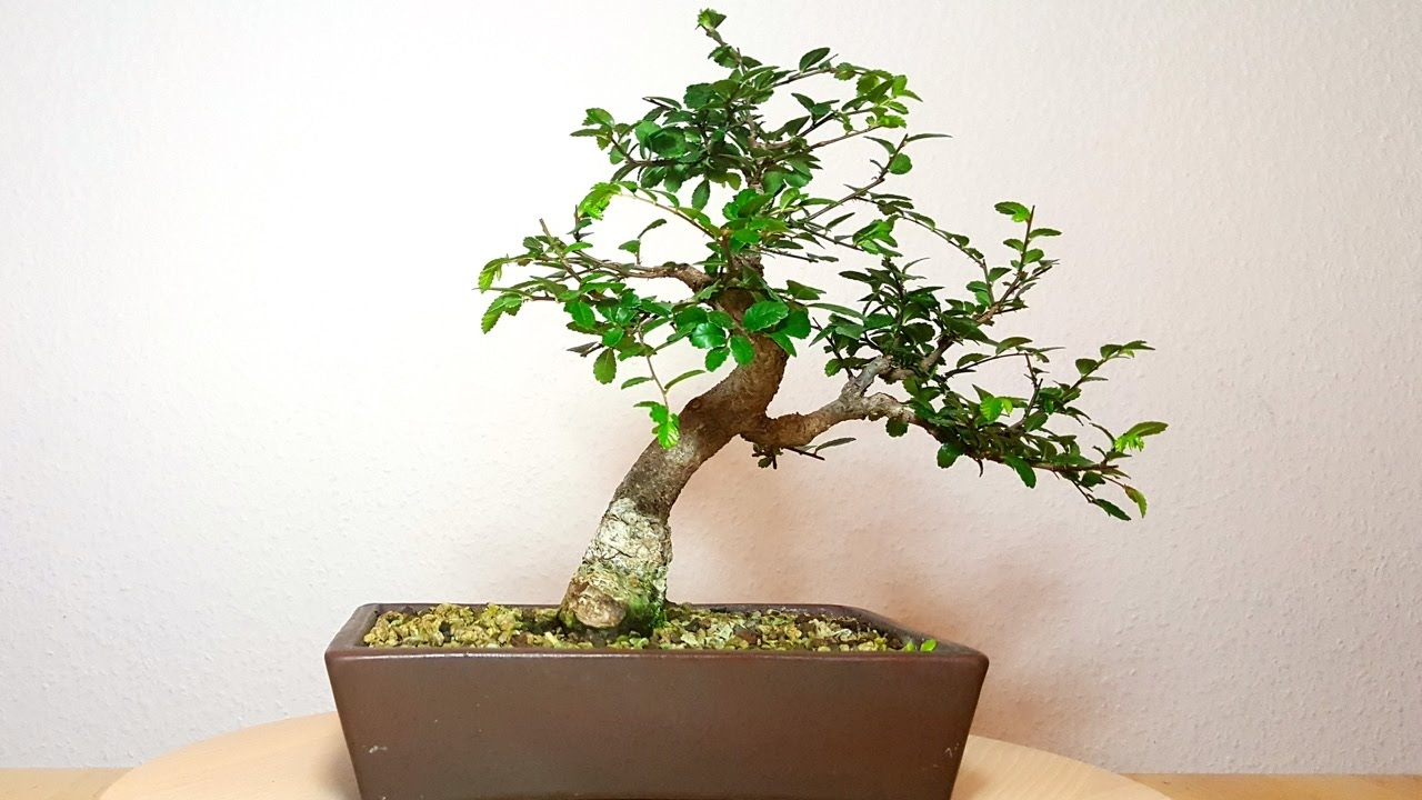 chinesische ulme ulmus parvifolia nr 2 von chris git rre 2016 1 youtube. Black Bedroom Furniture Sets. Home Design Ideas