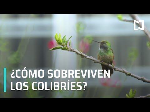 Los colibríes, las aves más pequeñas del mundo - Al Aire