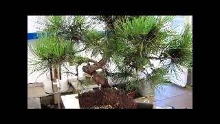 Styling my Ponderosa Pine in a Valavanis Bonsai Workshop